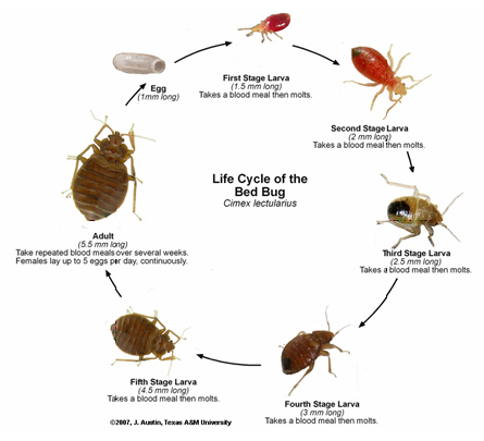 Ordinaire It Is Believed That Bed Bugs Do Not Transmit Disease. However, They Can  Cause An Allergic Skin Reaction And Bacterial Infection From Scratching.