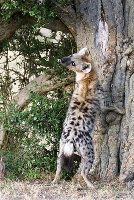 the complex matrilineal social structure of spotted hyenas The spotted, striped and brown hyena populations are decreasing due to habitat loss and persecution save the hyenas  the animals' social structure.
