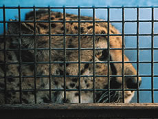 caged cheetah