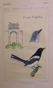 Art 1913 British Warblers Print Male Garden Warbler ~ GrÖnvold Special Buy