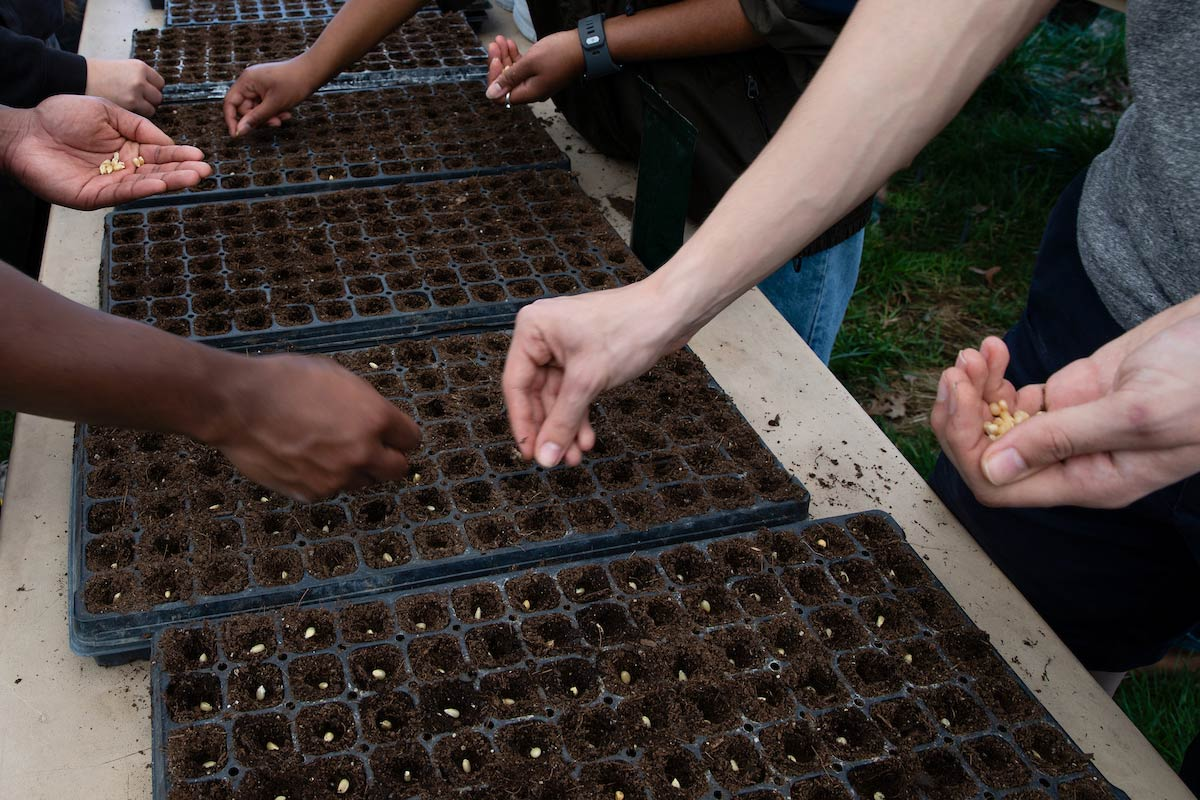 Hands shown planting corn in vegetable flats