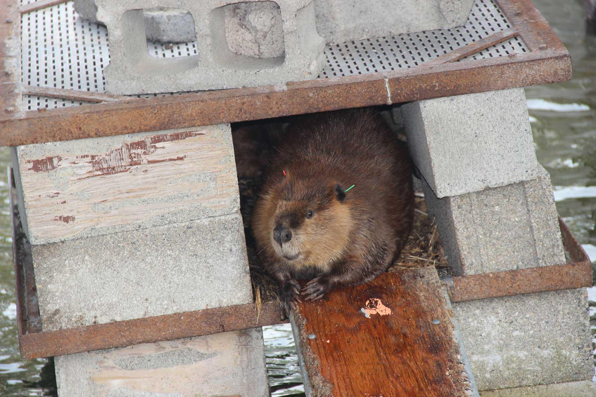 Beaver in a dam