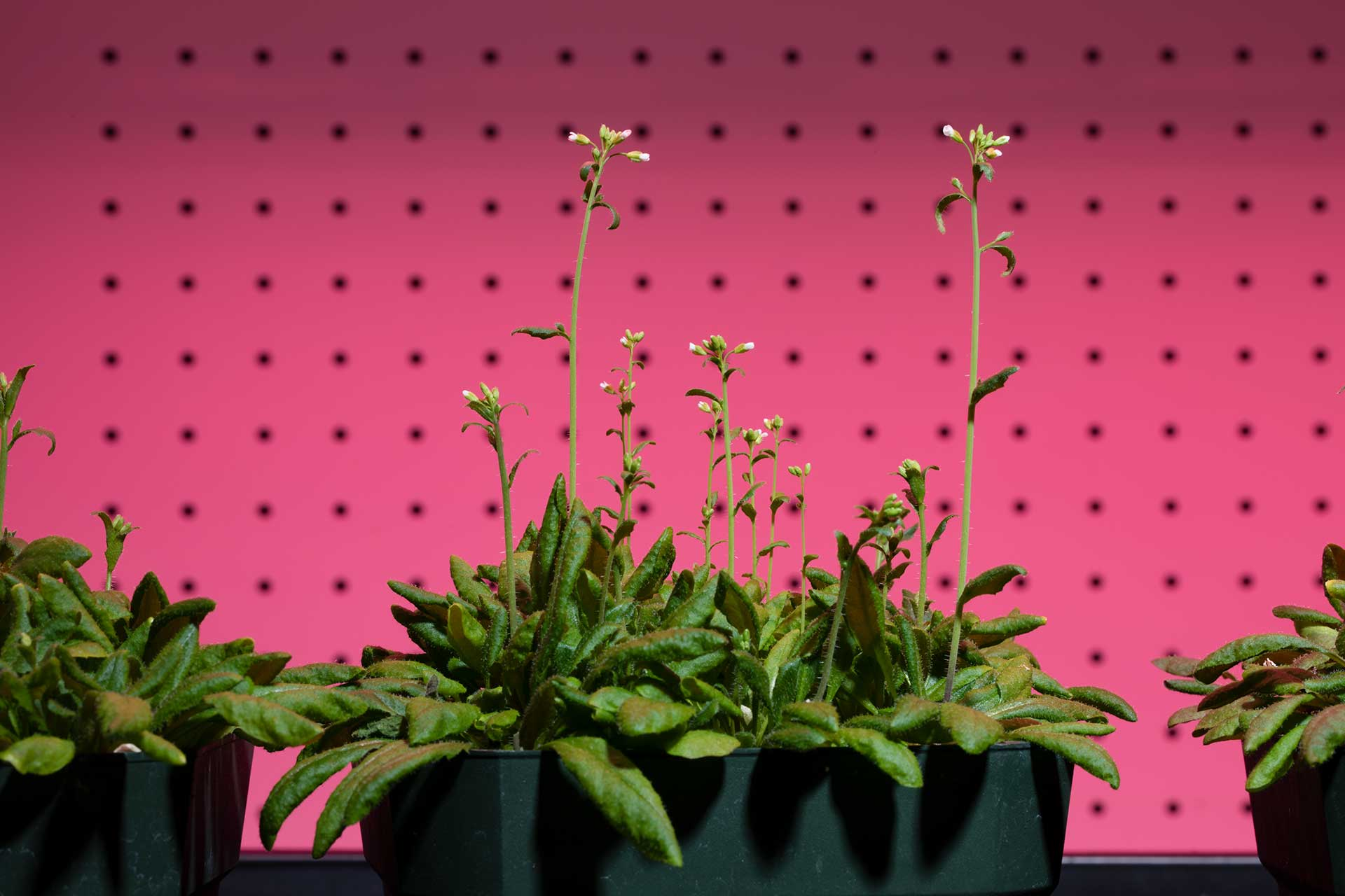 Plants used in research by Jeeyon Jeong, Assistant Professor of Biology in her lab at the Science Center.