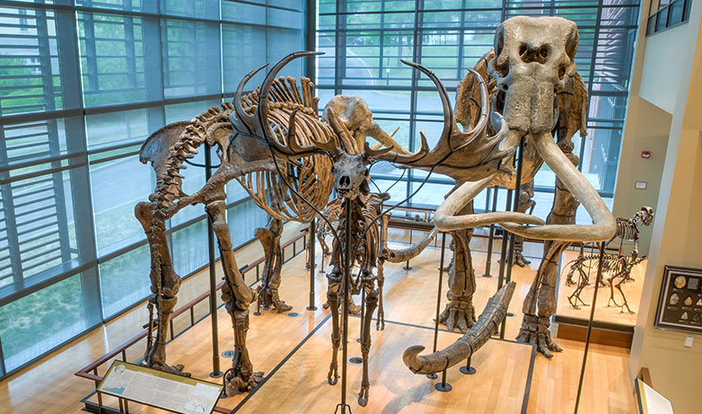Mammoth skeletons in the Beneski Museum