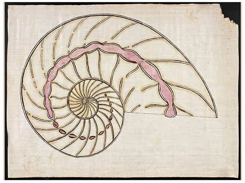A drawing of a spiral ammonite fossil