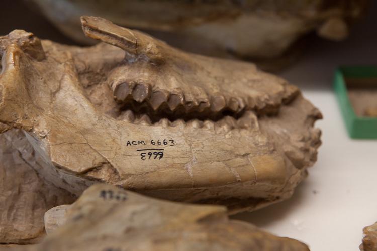 Herbivore skull found by Loomis