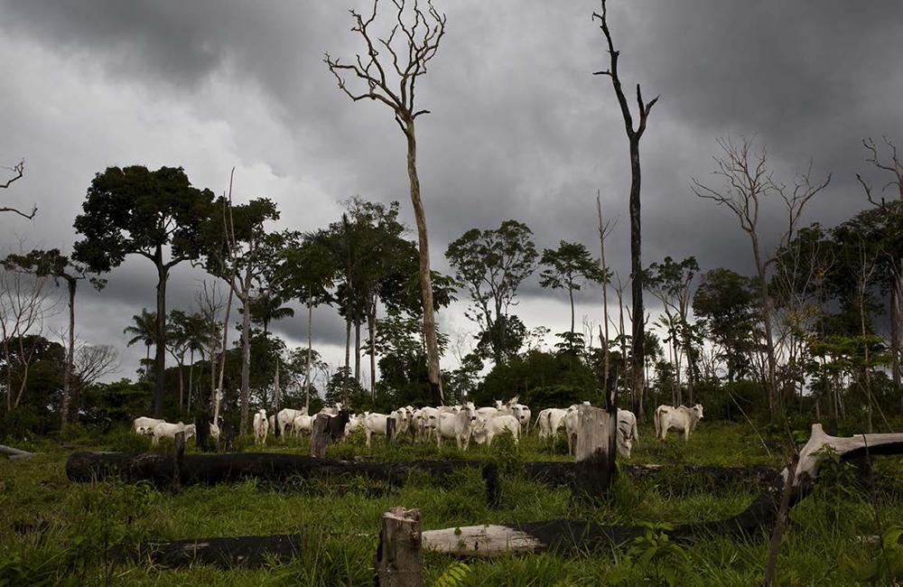 A photo of livestock grazing in a jungle field