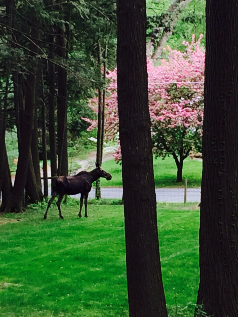 Moose standing near road, among grass and trees