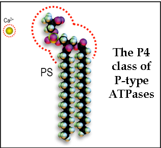 P4 Class of P-type ATPases
