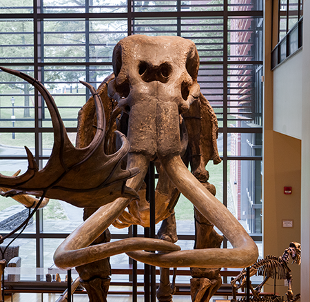 Mammoth bones in the Beneski Museum