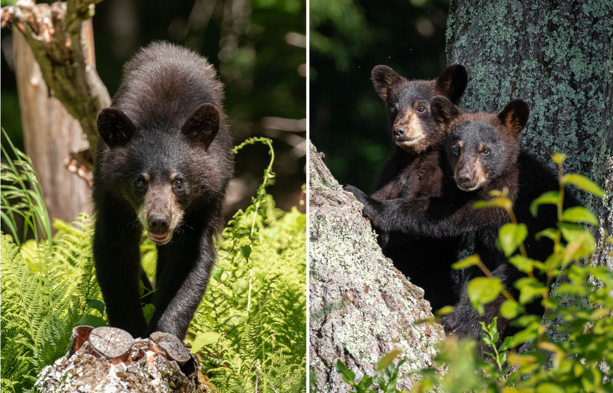 young black bears in the woods