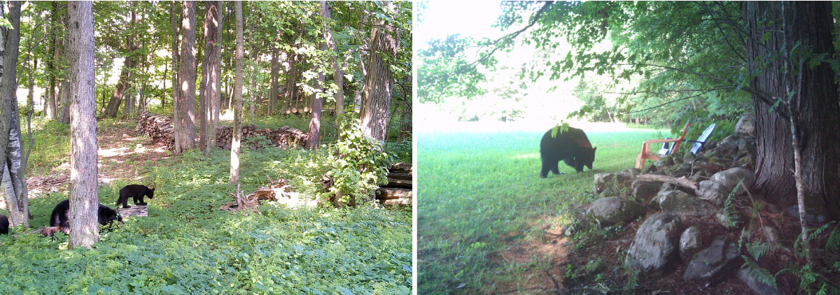 bears in yards photographed by residents