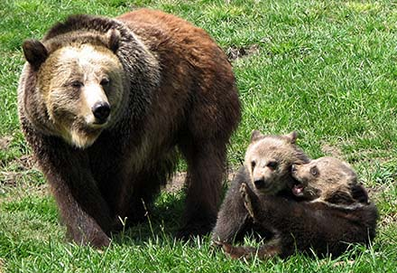 Bear Sanctuary, Washington State University