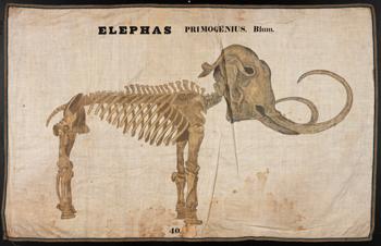 antique illustration of a mammoth skeleton