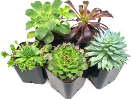 5 succulents in small black pots on a white background.