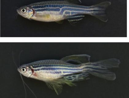 Research images of two zebrafish