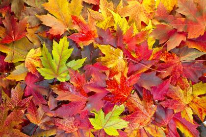 Fallen leaves on the ground.  Leaves are red, gold and yellow