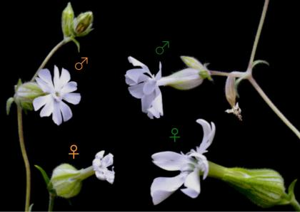 "White flowers labeled with ""male"" and ""female"" symbols"