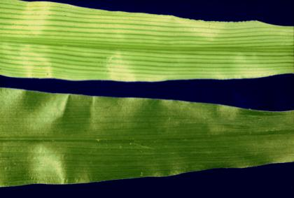 Walker research image: closeup of green plant leaves