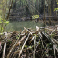 Photo of a beaver dam and pond