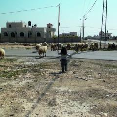 Photo by Wendy Ewald of a child with her back to the camera, looking toward a flock of sheep crossing a road in front of a building