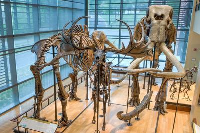 Mammoth skeletons in the Beneski Museum