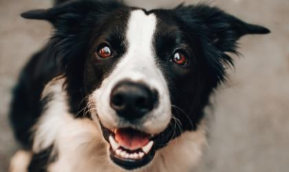 A black and white dog looking into the camera and smiling