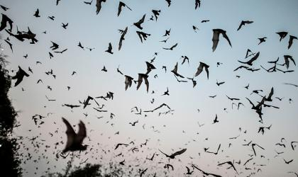 A photos of hundreds of bats flying in the late evening