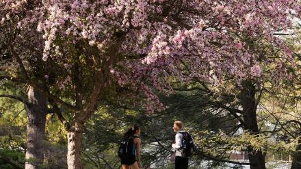 Two students talking beneath a flowering tree
