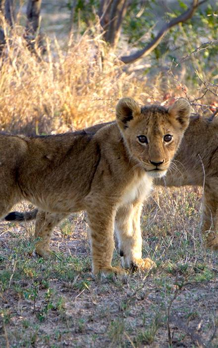 Two lions cubs walking on the savanna