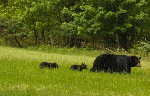 Kristensen_Bears.jpg