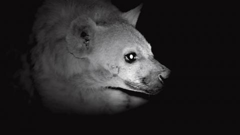 Wild hyena