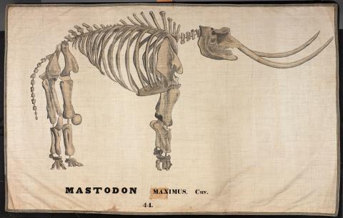 Mastodon Maxium. Cuv. by Ora White Hitchcock