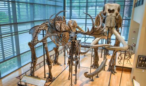 Mammoth Display in the Beneski Museum of Natural History