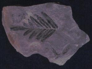 Glossopteris fern
