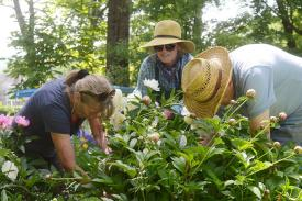 Three women gardening during Garden Days at the Emily Dickinson Museum