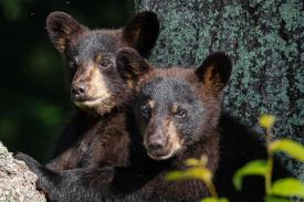 two black bear cubs
