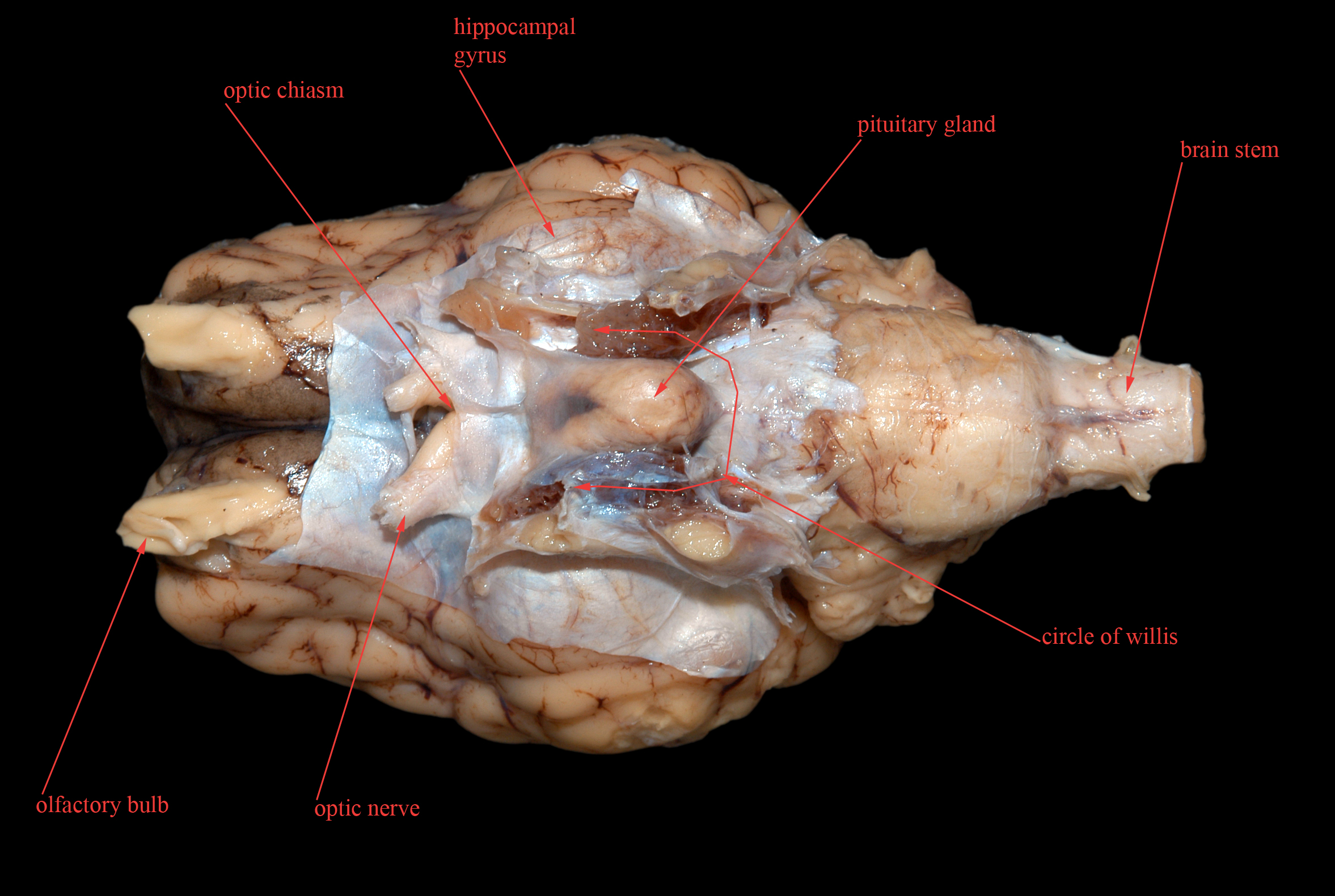 Nerve Sheep Brain Labeled Diagram - Block And Schematic Diagrams •
