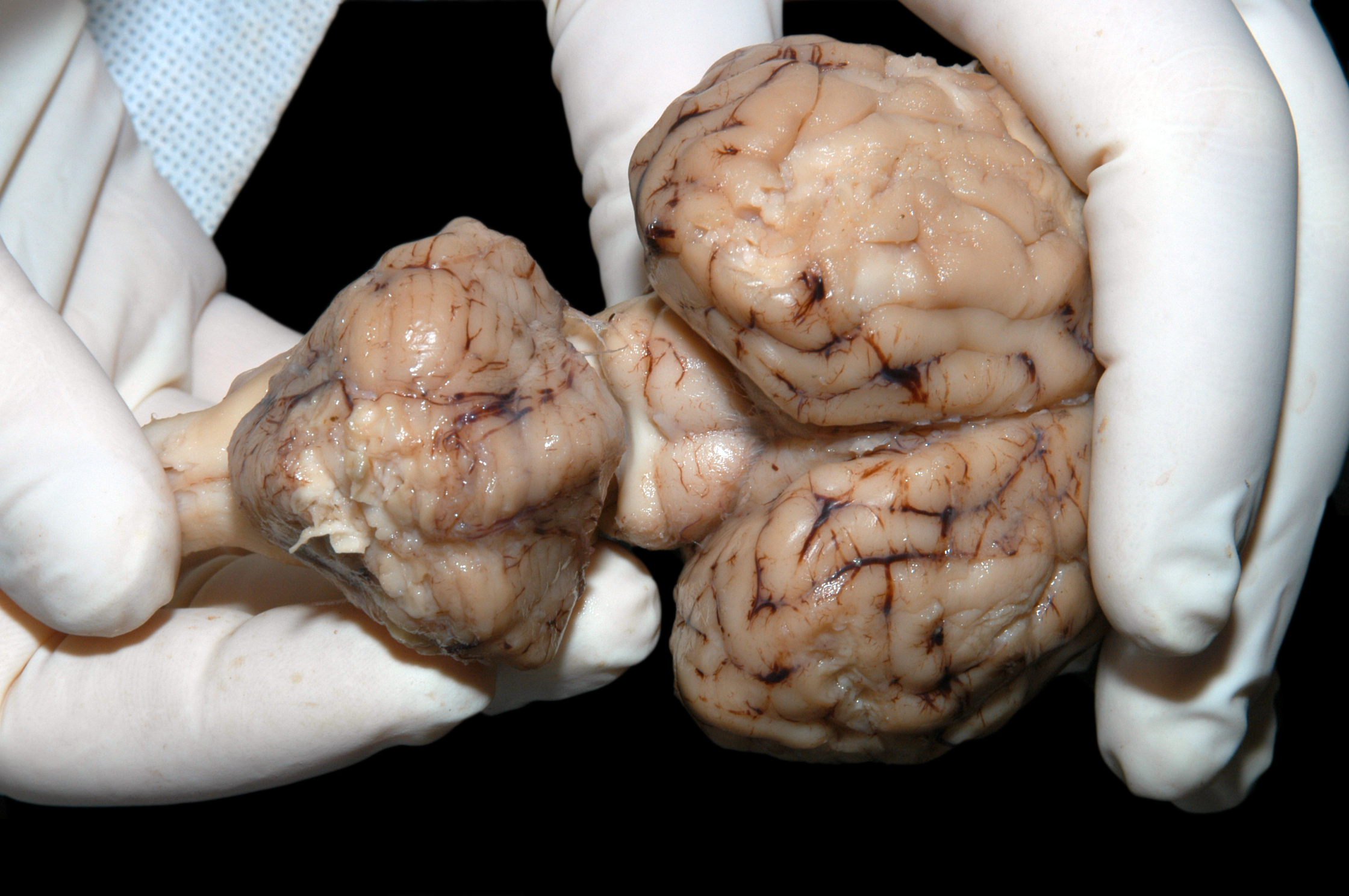 Lab | Sheep brain images | Amherst College
