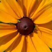 Sunflower_Rob Mattson.jpg
