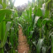 The Trail Though the Corn