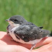 Hematophagous parasites of nestling tree swallows