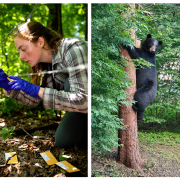 A photo of a young woman outside examining a wire fence and a photo of a black bear climbing a tree