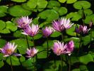 Picture of Water Lillies