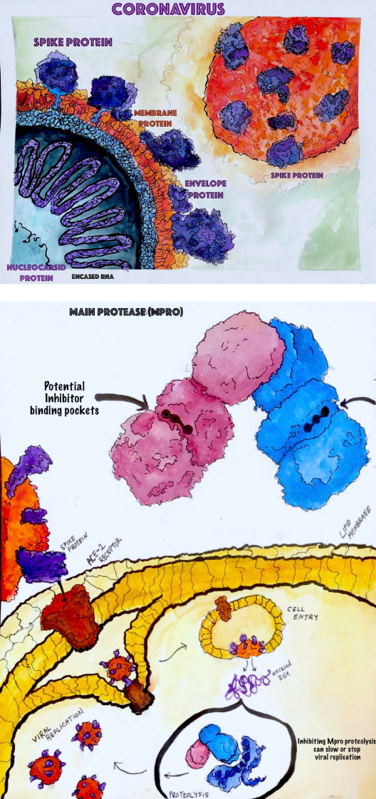 two illustrations by Amila Semic showing the coronavirus and their protens, and the main protease potential inhibitor binding pockets